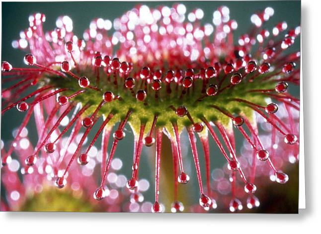 Round Leaves Greeting Cards - Leaf of Sundew Greeting Card by Nuridsany et Perennou and Photo Researchers
