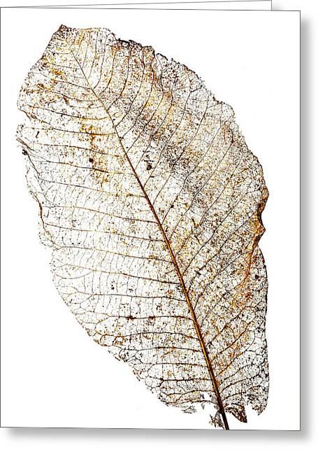 Leaf Skeleton Greeting Card by Garry Gay