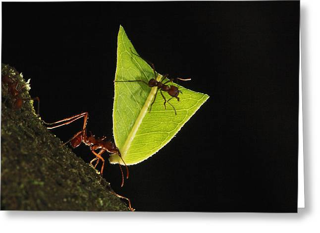 Atta Greeting Cards - Leafcutter Ant Atta Sp Carrying Leaf Greeting Card by Cyril Ruoso