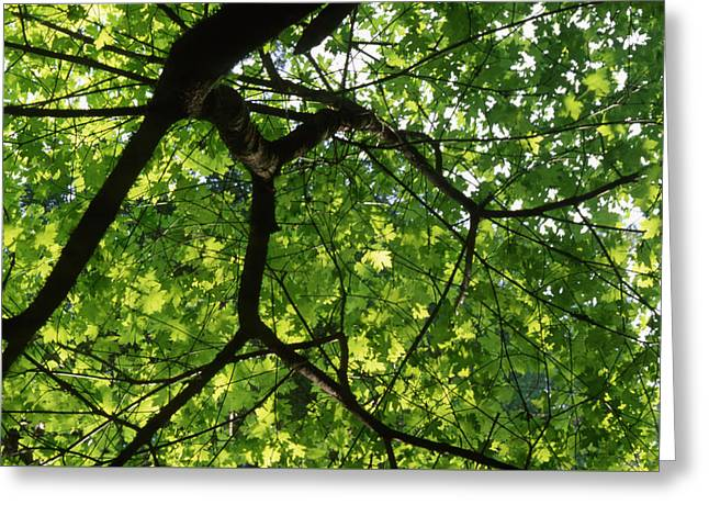 Leafy Canopy - Ventana Wilderness Greeting Card