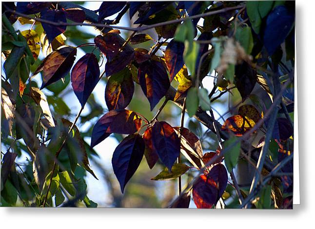 Leafy Light Show Greeting Card by Ross Powell