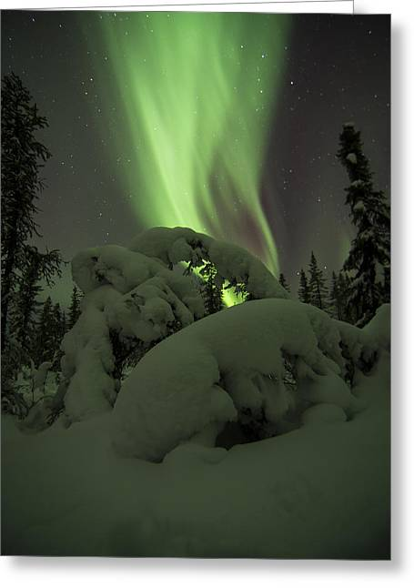 Leaning Spruce Aurora Greeting Card