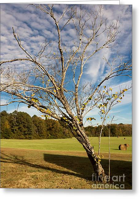 Leaning Tree - Natchez Trace Greeting Card by Debra Martz