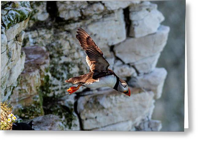 Greeting Card featuring the photograph Leap Puffin  by Cliff Norton