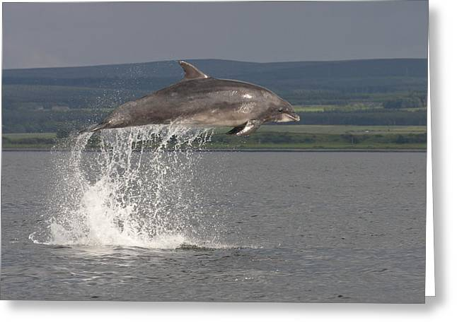 Leaping Bottlenose Dolphin  - Scotland #39 Greeting Card