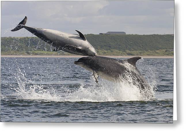 Leaping Bottlenose Dolphins - Scotland  #38 Greeting Card