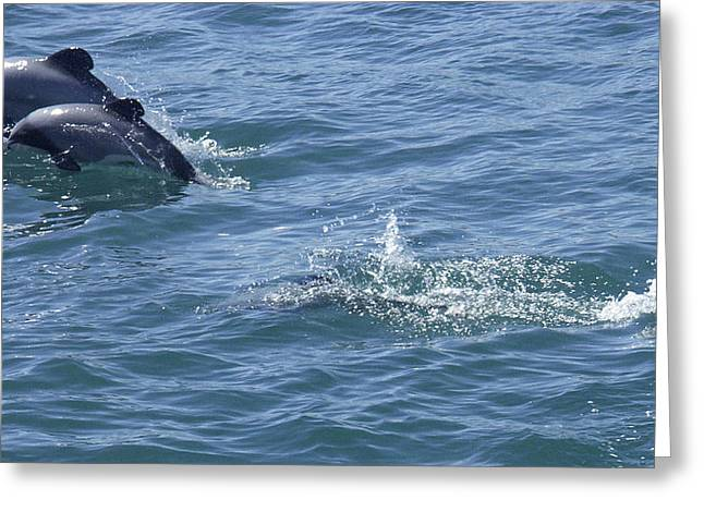 Leaping Hector's Dolphins Greeting Card