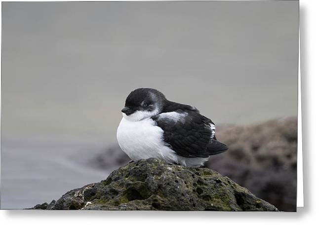 Least Auklet Greeting Card