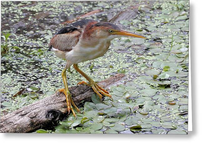 Greeting Card featuring the photograph Least Bittern by Doris Potter