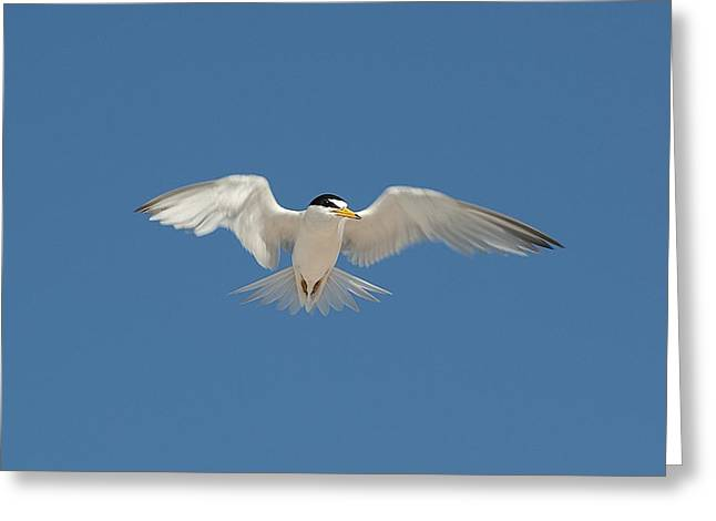 Least Tern 2 Greeting Card by Kenneth Albin