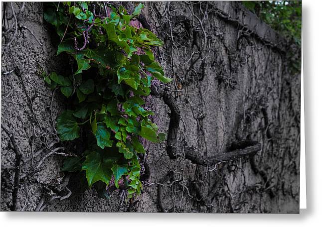 Leaves On Dead Vine  Greeting Card by Tom Carney