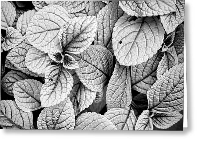 Leaves Black And White - Nature Photography Greeting Card