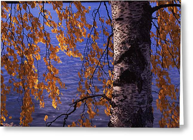 Leaves Of A Birch Tree, Vuoksi River Greeting Card