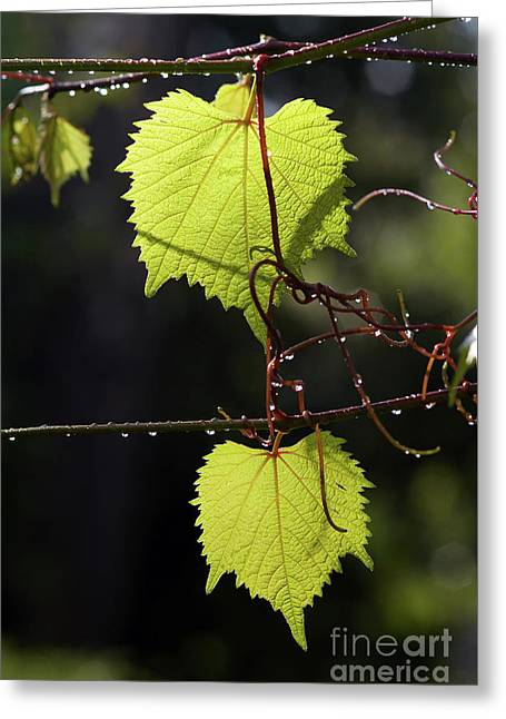 Leaves Of Grapevine After Rain Greeting Card