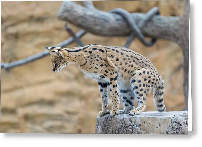 Leggy Cat Greeting Card by Josef Pittner