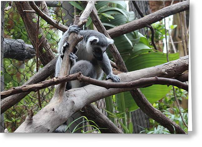 Lemur Scared Of Heights Greeting Card