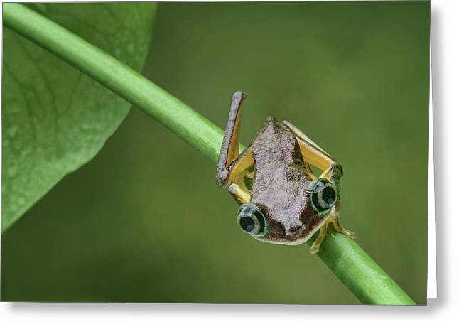 Greeting Card featuring the photograph Lemur Tree Frog - 1 by Nikolyn McDonald