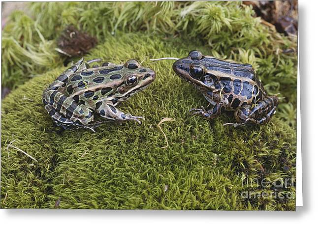 Leopard And Pickerel Frogs Greeting Card by John Serrao