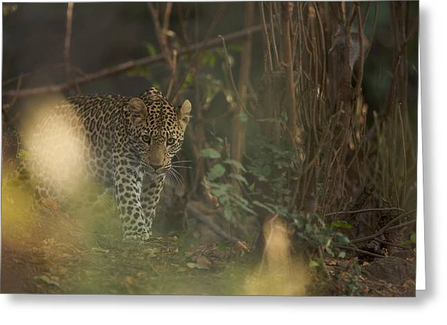 Leopard Comes Out Of The Bush Greeting Card by Johan Elzenga