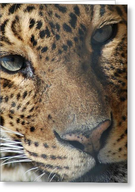 Greeting Card featuring the photograph Leopard Face by Richard Bryce and Family