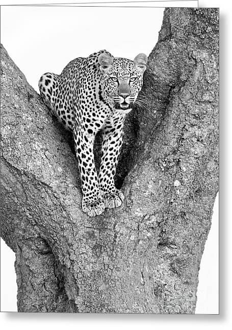 Leopard In A Tree Greeting Card by Richard Garvey-Williams