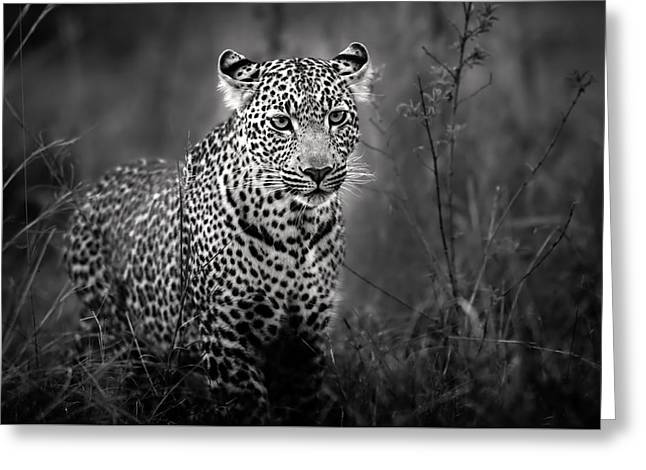 Leopard Male Looking For Food In Masai Mara Greeting Card by Maggy Meyer