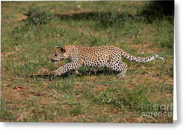 Leopard Panthera Pardus Cub Greeting Card