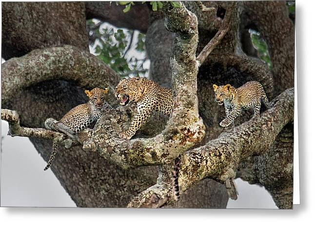 Leopard Panthera Pardus Family On Tree Greeting Card