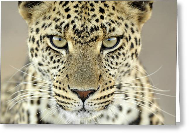 African Cat Greeting Cards - Leopard Panthera Pardus Female Greeting Card by Martin Van Lokven