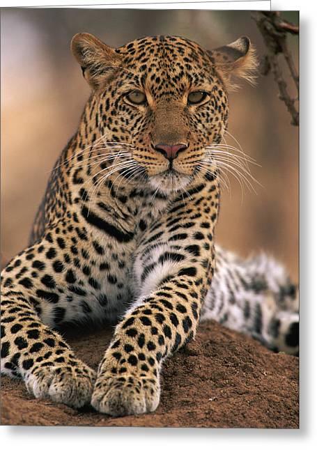 Leopard Panthera Pardus, Masai Mara Greeting Card by Anup Shah