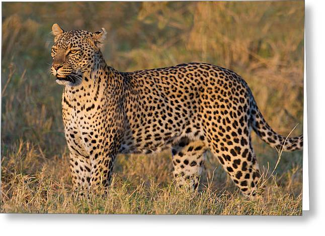 Leopard Panthera Pardus Standing Greeting Card by Panoramic Images
