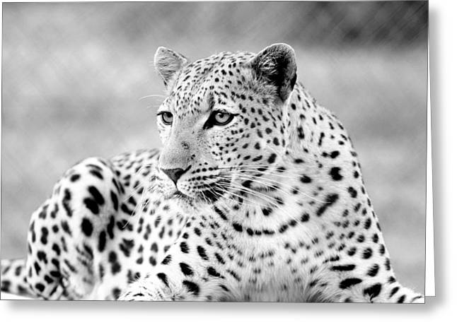 Greeting Card featuring the photograph Leopard by Riana Van Staden