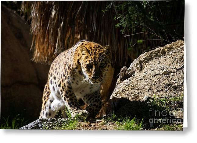 Leopard Stare Greeting Card by Mike Dawson