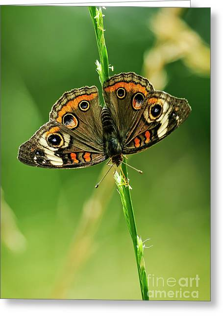 Lepidoptera Greeting Card by Charles Dobbs