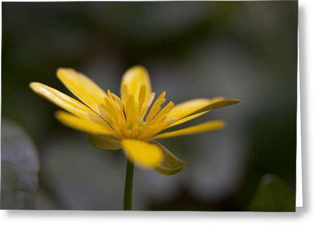 Lesser Celandine Greeting Card