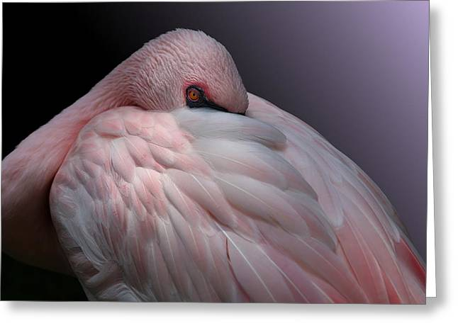 Lesser Flamingo Resting Greeting Card