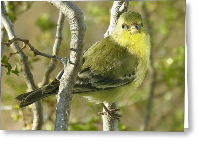 Lesser Goldfinch 1 Greeting Card