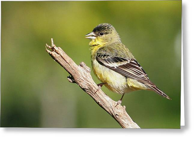 Lesser Goldfinch Greeting Card by Andrew Johnson