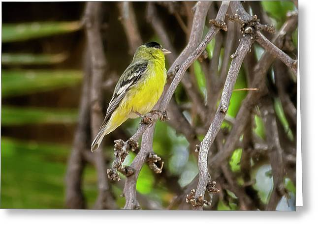 Greeting Card featuring the photograph Lesser Goldfinch H57 by Mark Myhaver