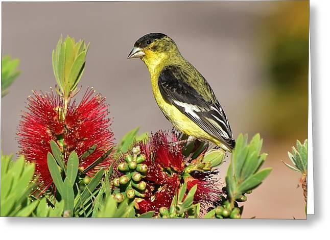 Lesser Goldfinch Perched On Bottlebrush Bush I Greeting Card