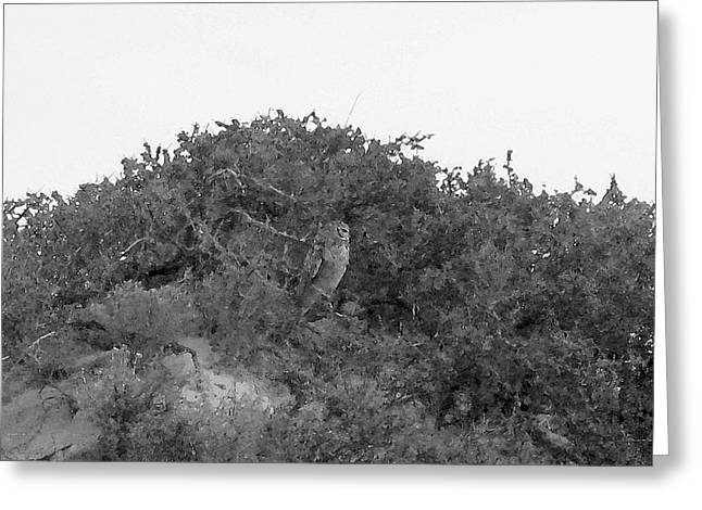 Lesser Horned Owl Greeting Card by Sandy Taylor