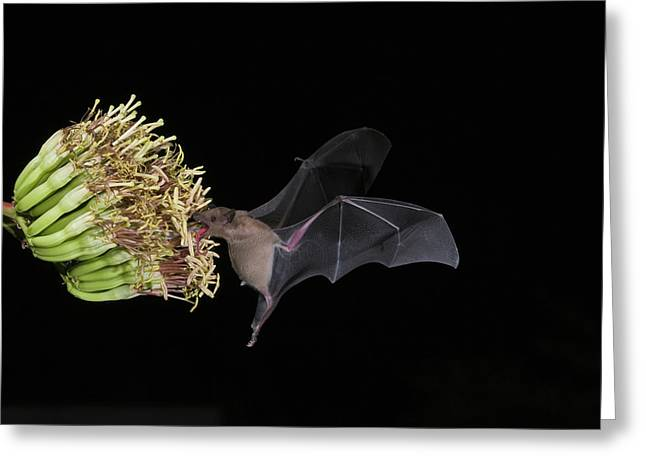 Long Nose Greeting Cards - Lesser Long-nosed Bat Leptonycteris Greeting Card by Tom Vezo