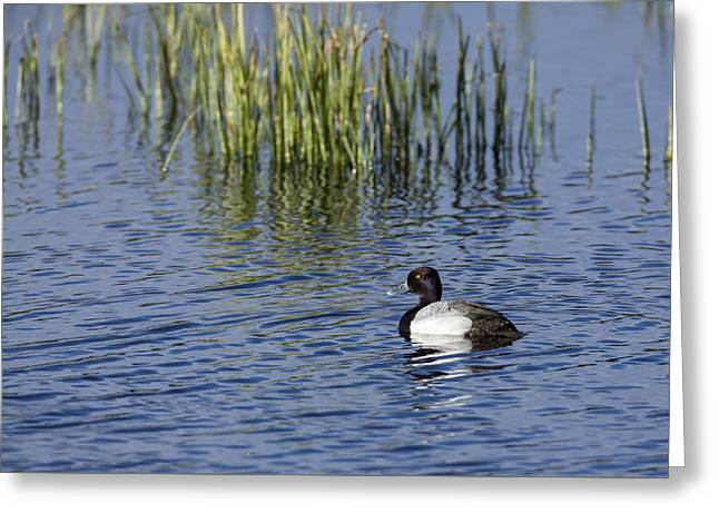 Lesser Scaup Adult Male Greeting Card
