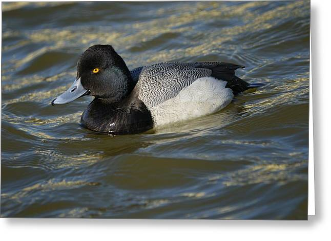 Greeting Card featuring the photograph Lesser Scaup Drake by Bradford Martin