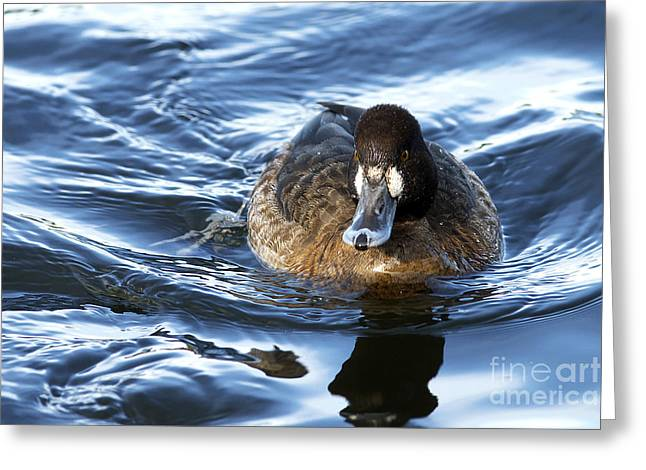 Lesser Scaup Female Greeting Card by Sharon Talson
