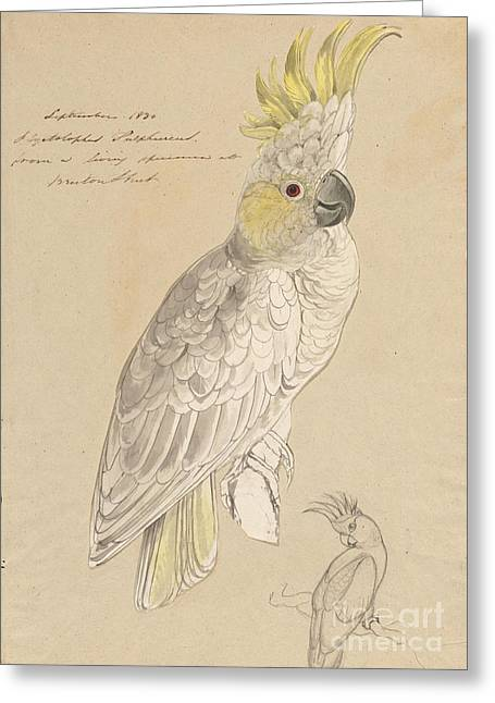 Lesser Sulphur-crested Cockatoo Greeting Card