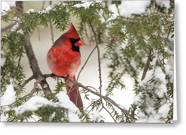 Leucistic Northern Cardinal Greeting Card by Everet Regal