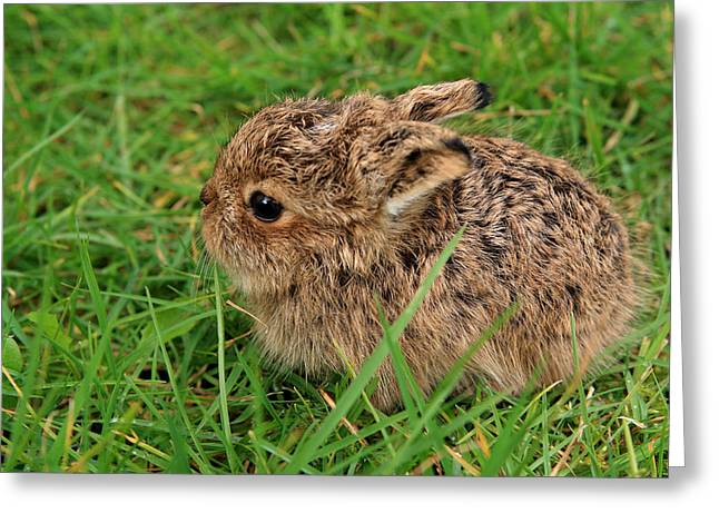 Leveret Greeting Card by Aidan Moran
