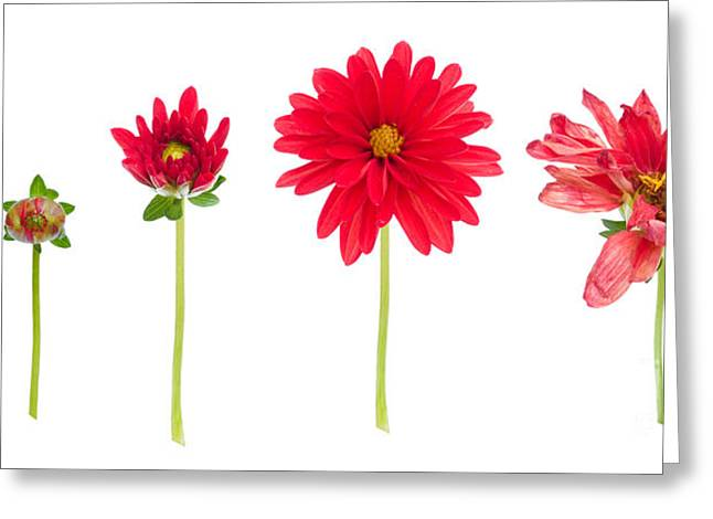 Life And Death Of A Dahlia Greeting Card by Meirion Matthias