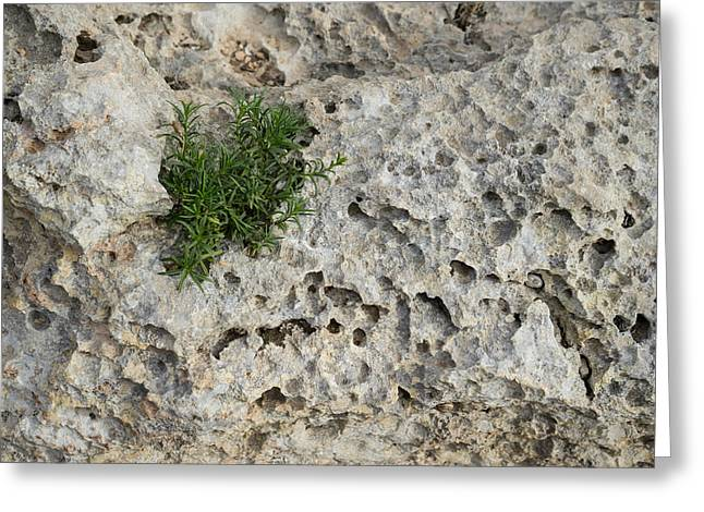 Life On Bare Rock - Pockmarked Limestone And Thyme Greeting Card by Georgia Mizuleva